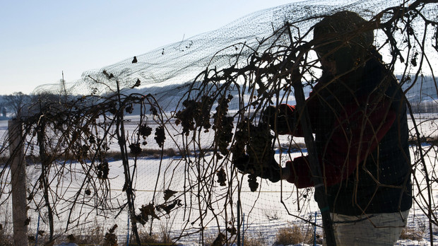 A worker picks frozen grapes at  Wollersheim winery