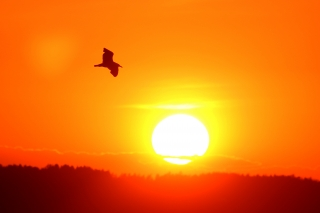 Summer night - a bird flying across a sunset