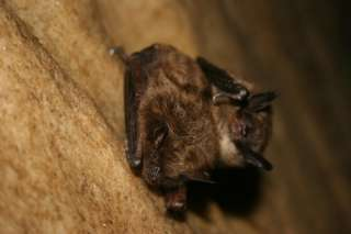 A healthy little brown bat. U.S. Fish and Wildlife Service Headquarters