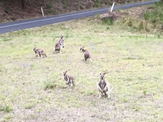 Wallabies near road going into Lamington National Forest- Photo by Allen Rieland