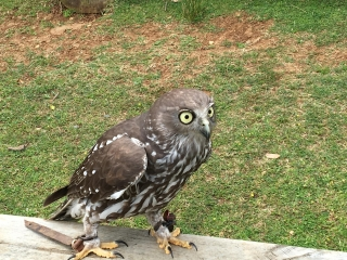 Barking Owl - O'Reilly's Birds of Prey - Photo by Allen Rieland