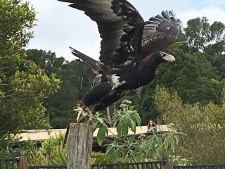 Wedge Tail Eagle - O'Reilly's Birds of Prey - Photo by Allen Rieland