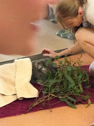 Treating sick Koala at Steve Irwin's Animal Hospital - Photo by Allen Rieland