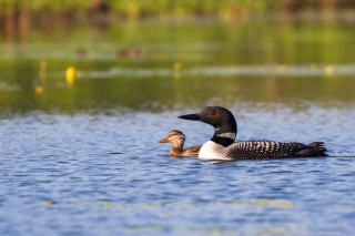 duckling swims alongside loon parent