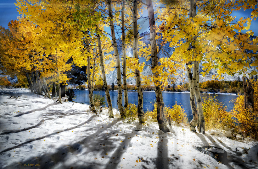 Birch trees with fall leaves in the snow.