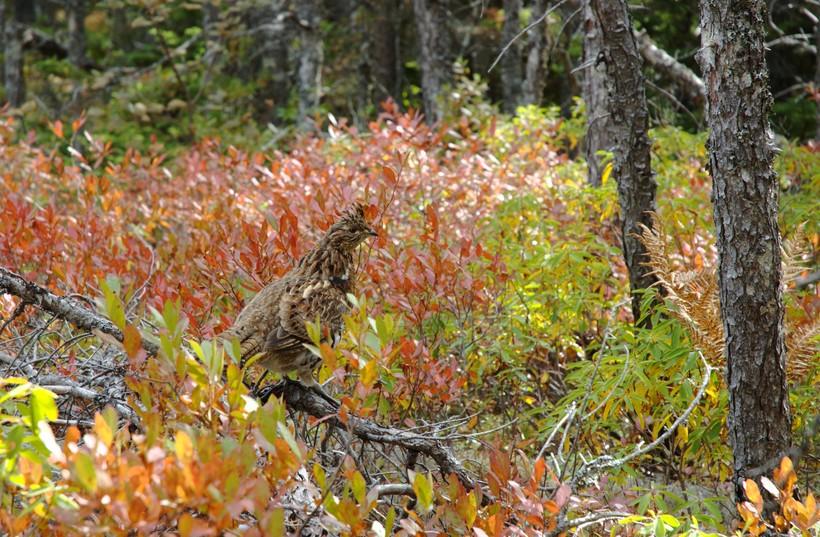 ruffed grouse in fall foliage