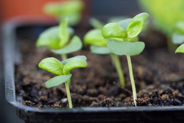 gardening, seedling, dirt, tray