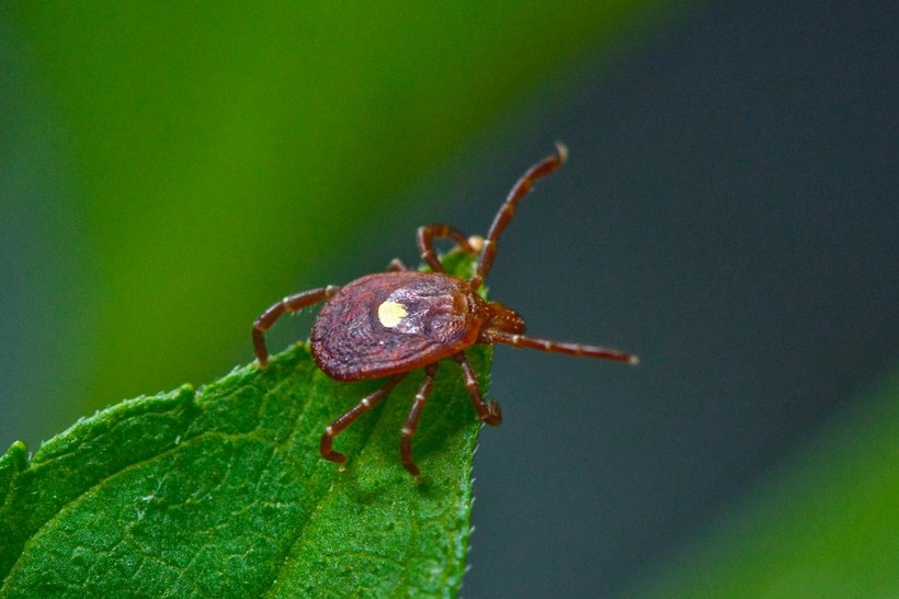 Deer tick on leaf