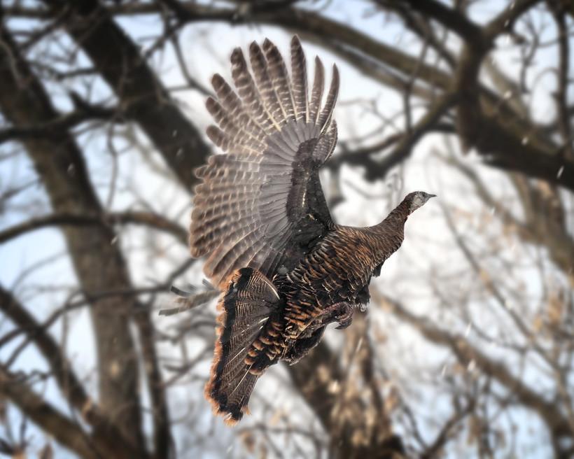 turkey in flight