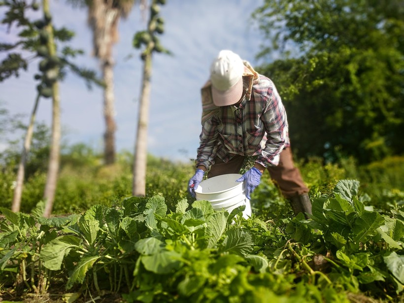 A farmer tends to a sunny vegetable patch