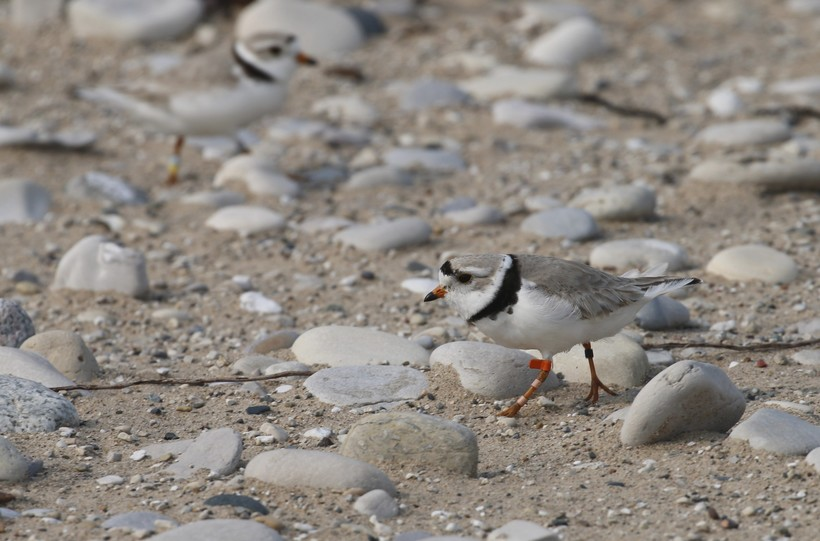 A piping plover walks on the sand in Glen Haven, Mich.