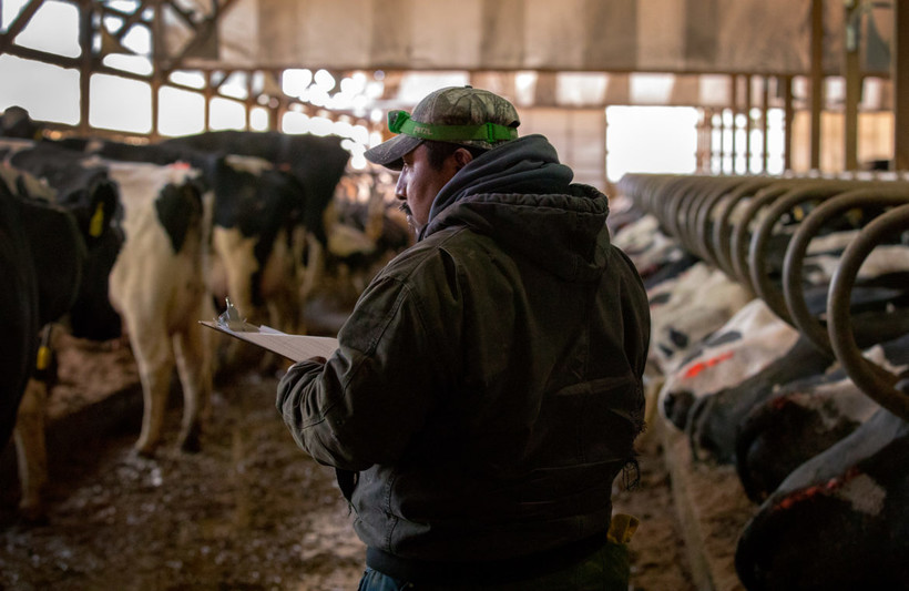 Guillermo Ramos vaccinates dairy cows in the freestall barn of a dairy farm in northern Buffalo County