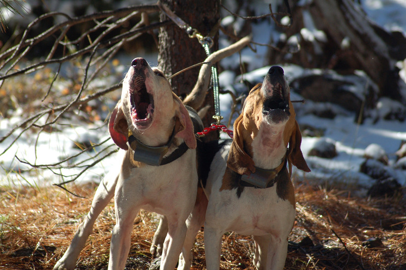 Hunting dog barking