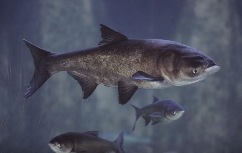 Asian bighead carp