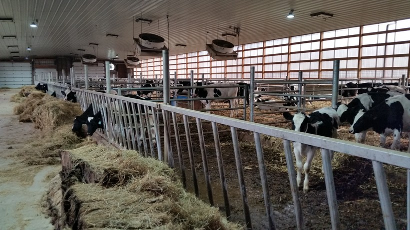 Young cows in a barn