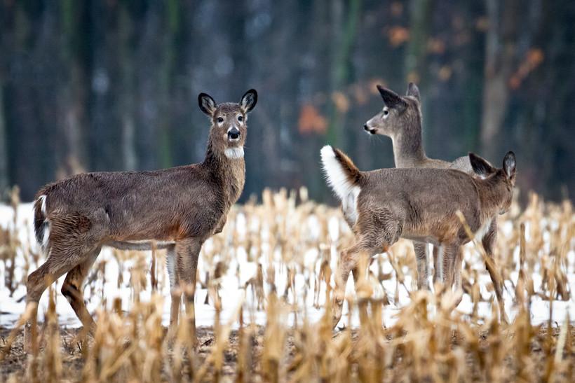 Deer in snowy cornfield