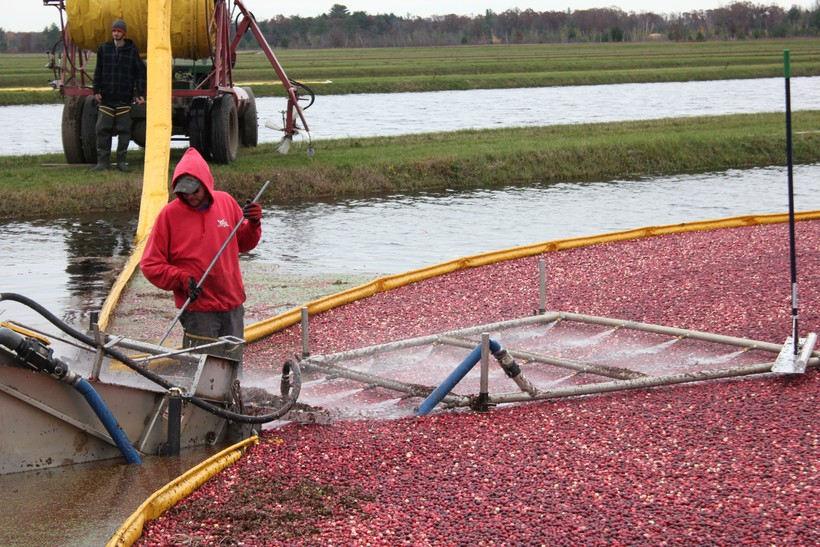 A worker at the Cutler Cranberry Co. farm in Camp Douglas