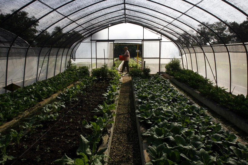 A farmer carries lettuce in a hydroponic farm