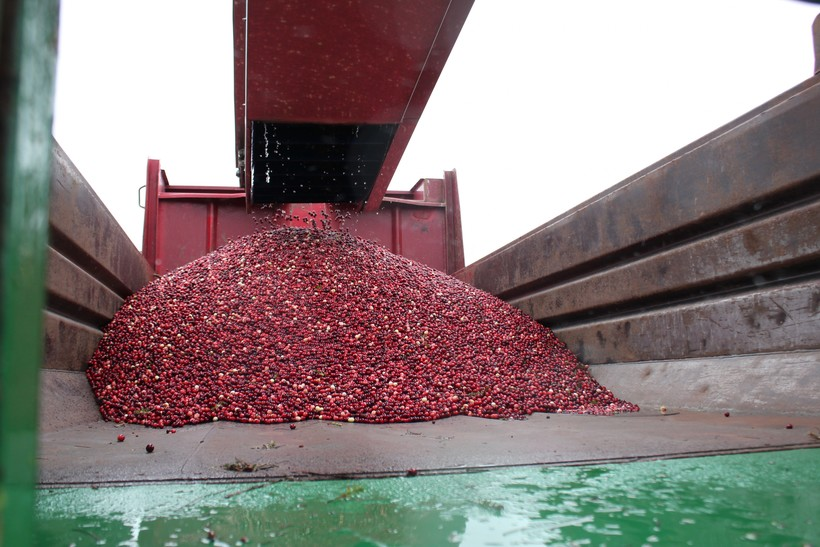 A dump truck fills with cranberries