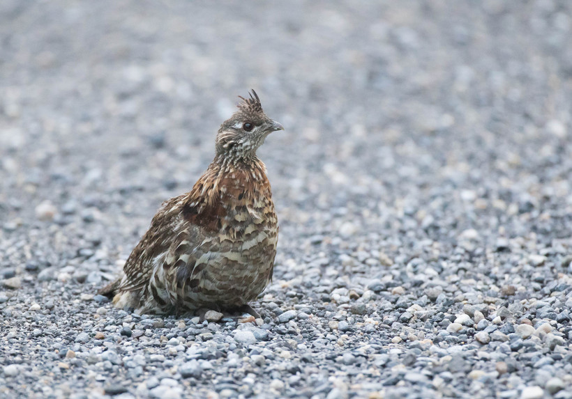 wisconsin dnr to relocate 300 ruffed grouse to missouri wisconsin