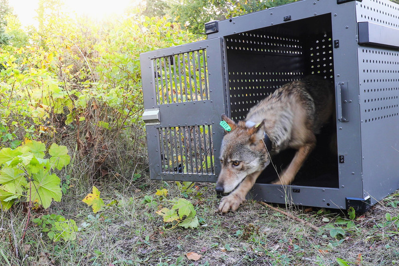 Wolf leaving crate on Isle Royale