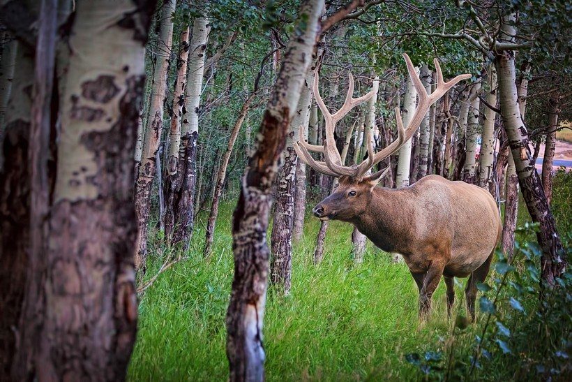 elk in woods