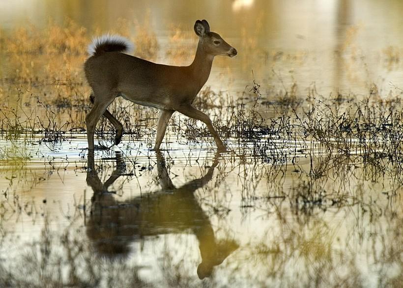 white tail deer in water