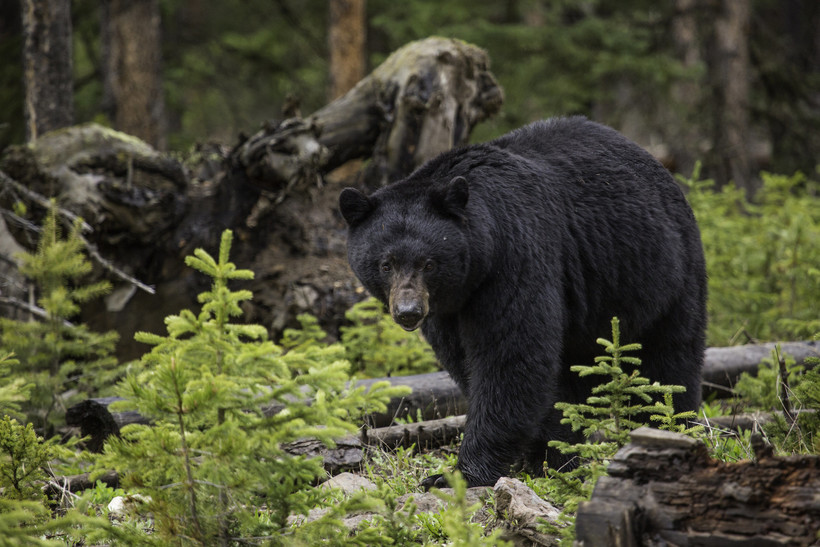 black bear, Yellowstone Park