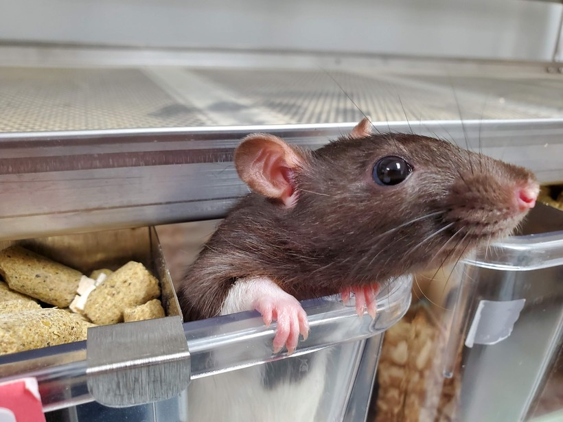 Dr. Richard Hein and his students at UW Green Bay-Manitowoc use rats to study metabolism, hormones and even human reproduction. When the year ends, Hein makes sure all the animals are adopted. Many are taken home by students, he said.