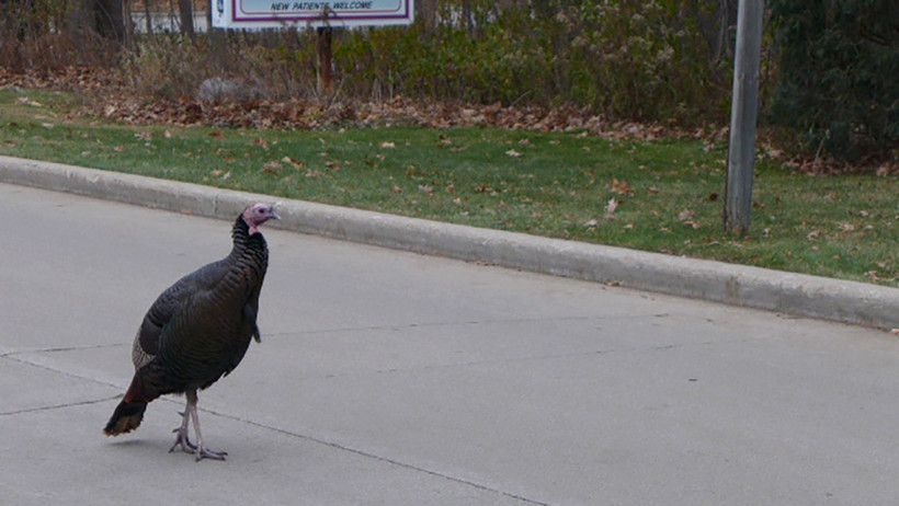 Smoke the turkey makes his way around the Green Bay suburb of Ashwaubenon