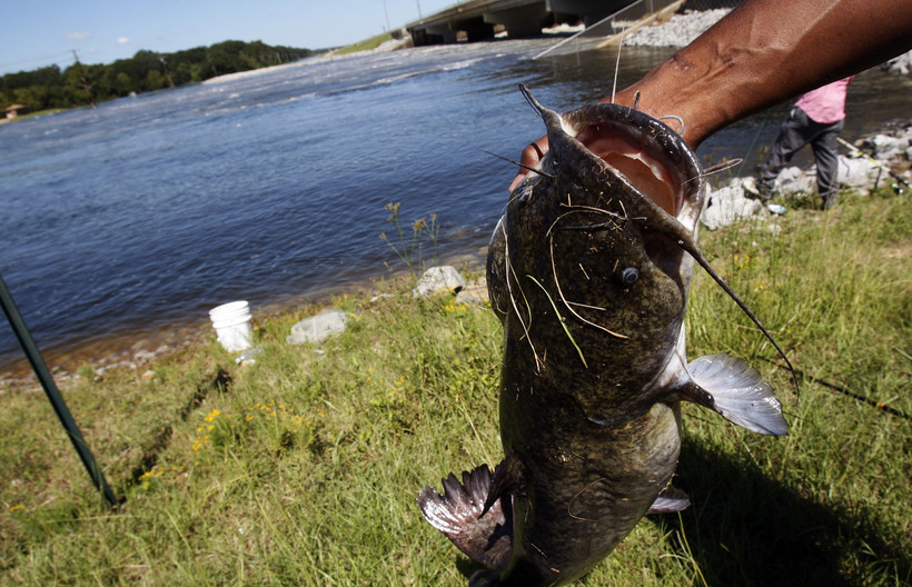 35-pound catfish pulled out of water