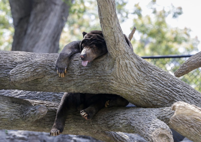 A Sun Bear, native to the tropical forests of Southeast Asia, sleeps in a tree at the Henry Doorly Zoo in Omaha
