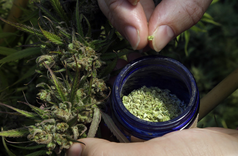 pollen is removed from a hemp plant