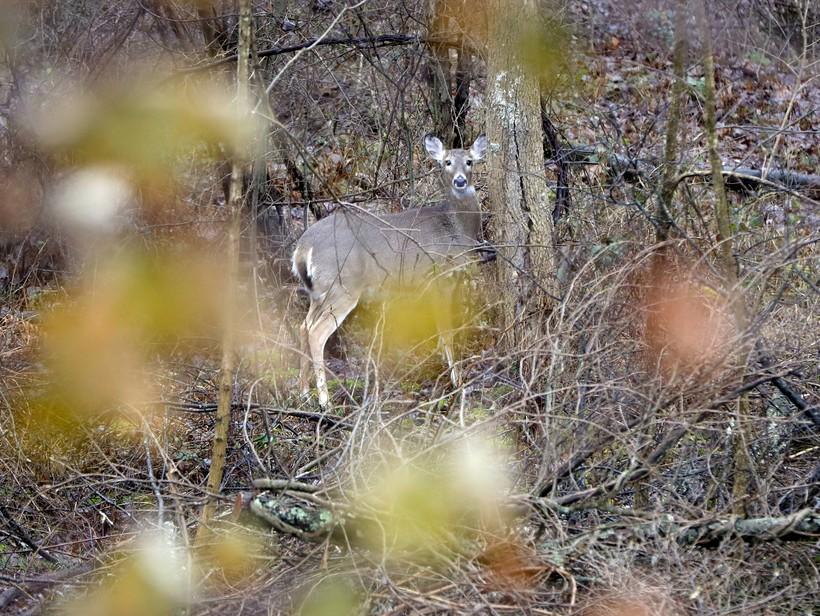 A deer peers through the woods