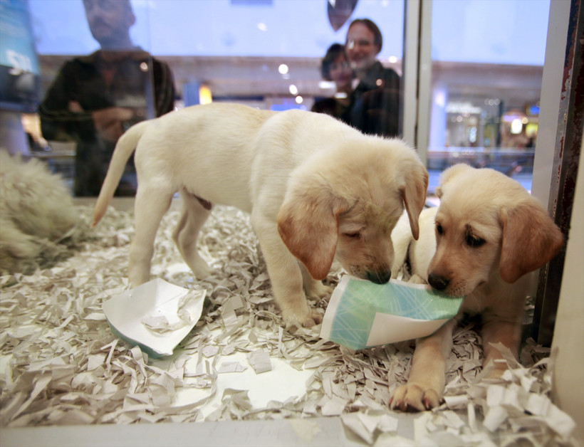 window shoppers look at a pair of Labrador puppies at a pet store