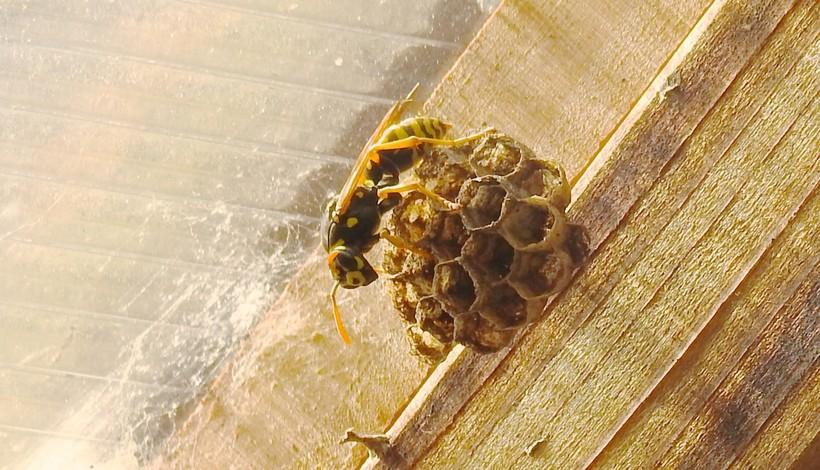A Yellowjacketon a paper nest