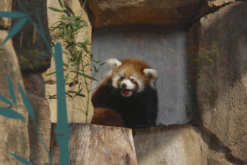 Kiki a red panda at the Milwaukee County Zoo