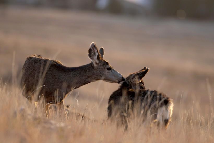 deer grooms a doe