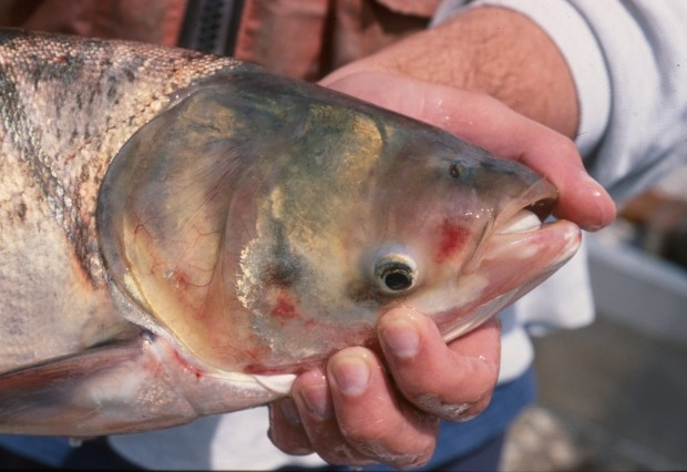 Asian carp pose threat to Lake Michigan