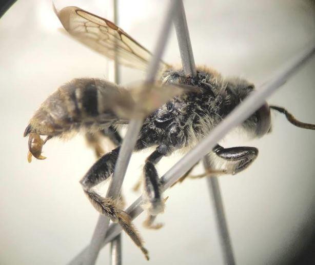 A rare bee, Epeoloides pilosulus