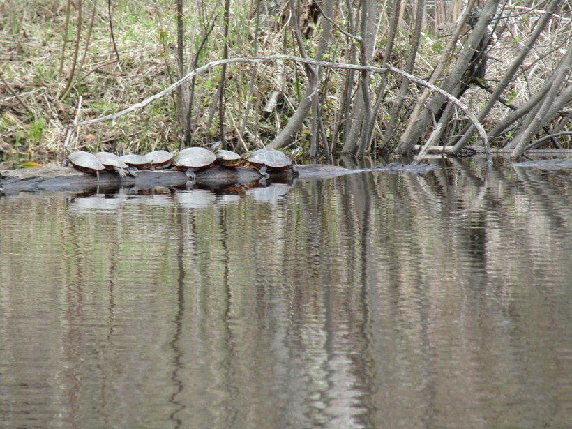 Painted turtles sun themselves on a log at Jordan Pond