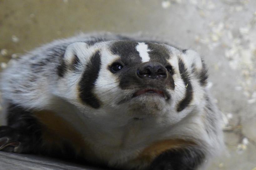 Badger close-up