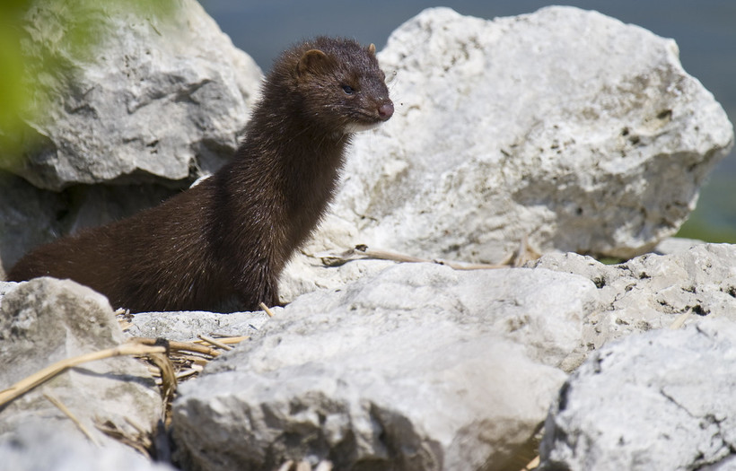 A mink -- a dark-furred, long-bodied mammal -- stands on some rocks.