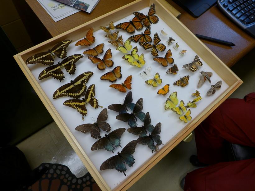 Entomologist Barrett Klein shows off his collection ofmonarch butterflies