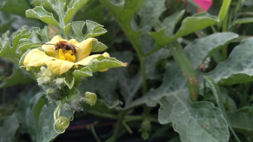 A wild bee on a watermelon plant