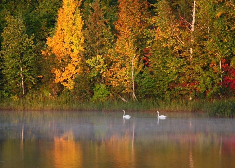 Trumpeter Swans in Ashland