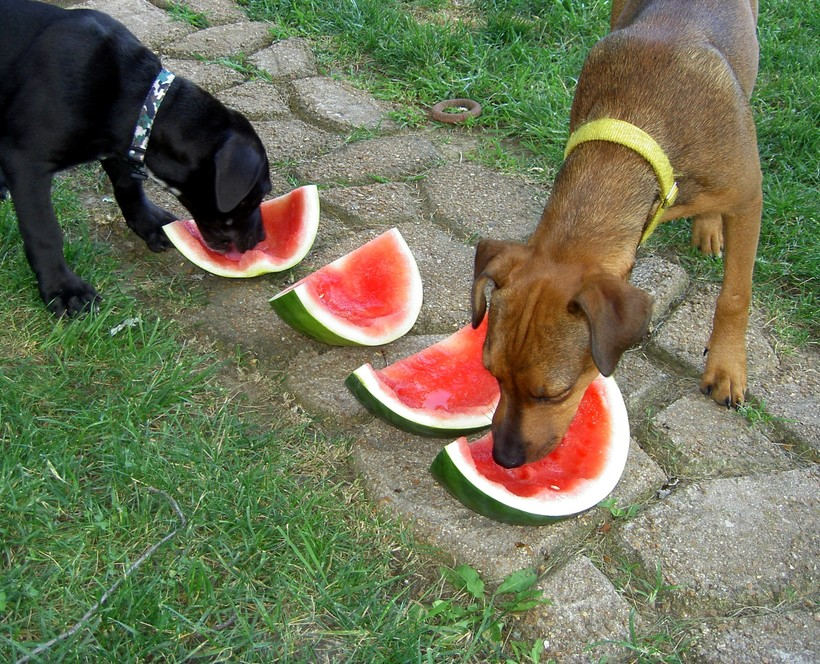 Two furry friends sharing a watermelon