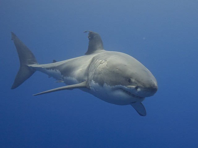 Close-up of a Great White Shark Of The Coast Of California