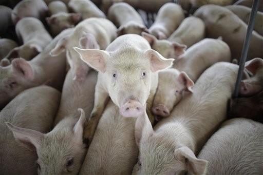 Pigs press together on a farm
