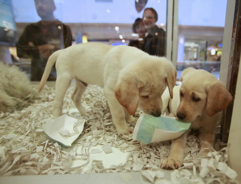 Dogs in LA pet store window